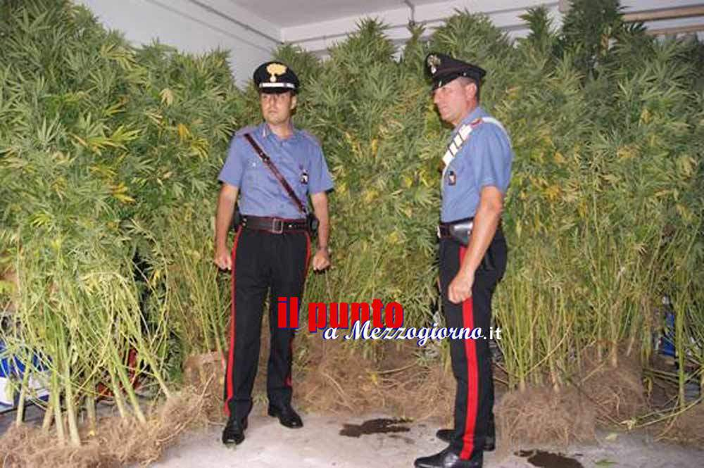 Piantagione di marijuana sequestrata a Caianello