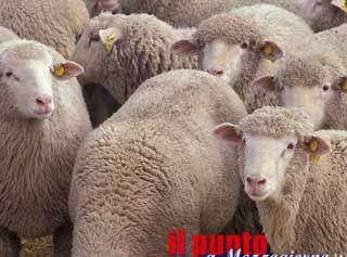 Gli europei come un gregge di pecore