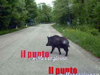 Cinghiali in strada a Cassino, pericolo sempre in agguato