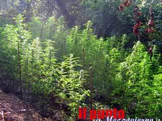 Seimila metri quadri di marijuana, sequestrata maxi piantagione con 500 piantine