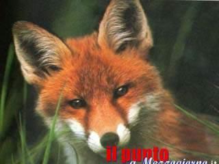 Una volpe come animale domestico, denunciata 61enne