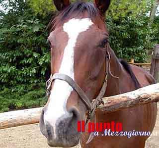 Piedimonte S. Germano, cavallo investito sulla Casilina: veterinari valutano abbattimento