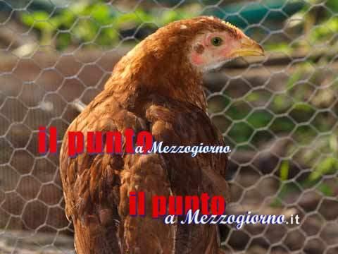 """Un pollaio dalle uova """"stupefacenti"""", 24enne di Velletri nascondeva cocaina tra i giacigli delle galline"""