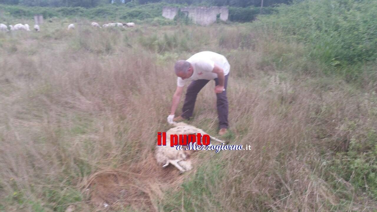 Con una carcassa di pecora in decomposizione vicino casa, famiglia fa intervenire la Asl