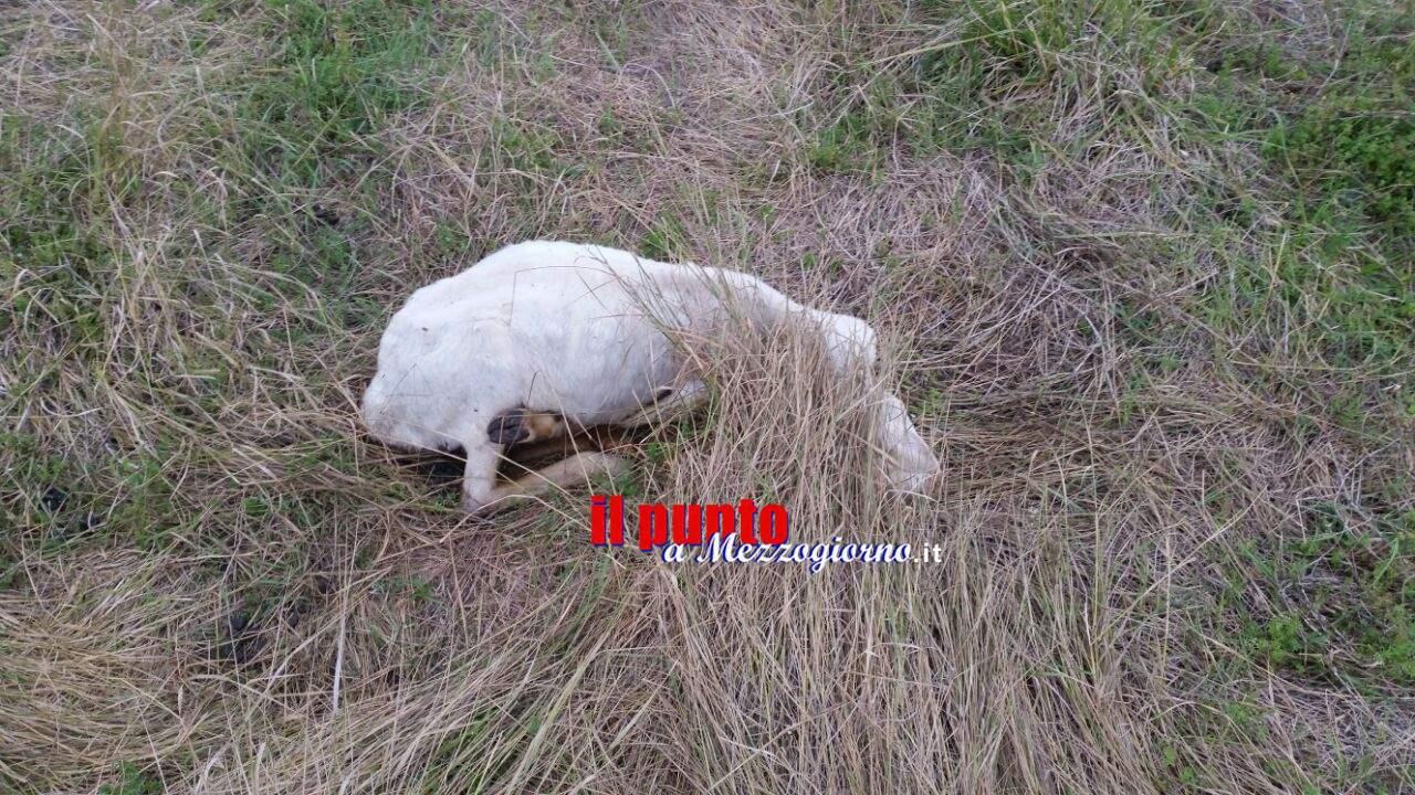 Pecore morte  e moribonde in via San Pasquale a Cassino. Residente disperata