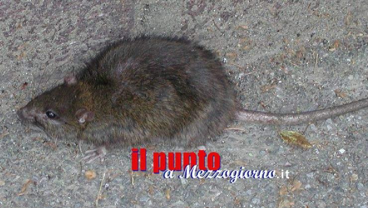 Graffiato in volto da un topo, operaio aggredito a Cassino mentre svuota cassonetti dell'immondizia