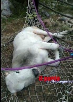 Cade in un burrone, vitello salvato con elicottero dai vigili del fuoco