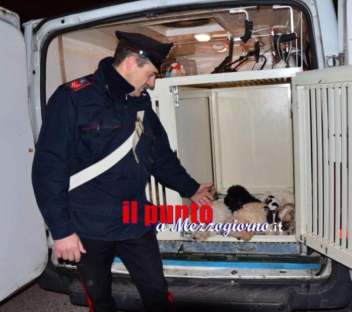 Traffico di cani dalla Slovenia, sequestrati a Pignataro 16 cuccioli