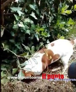 """Pocho il cane antidroga """"tascabile"""" odiato dagli spacciatori di Cassino – IL VIDEO"""
