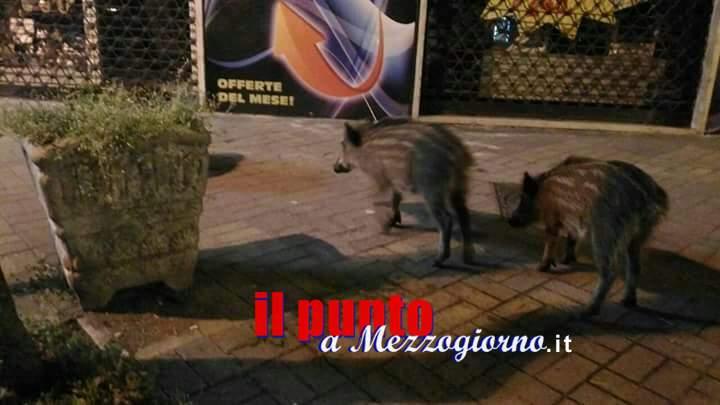 Cani e gabbie per contrastare a Cassino l'invasione dei cinghiali