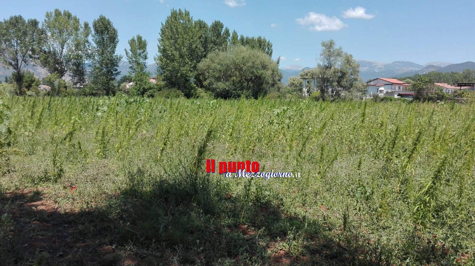 Piantagione di marijuana di 4 ettari a Cassino, ma è legale