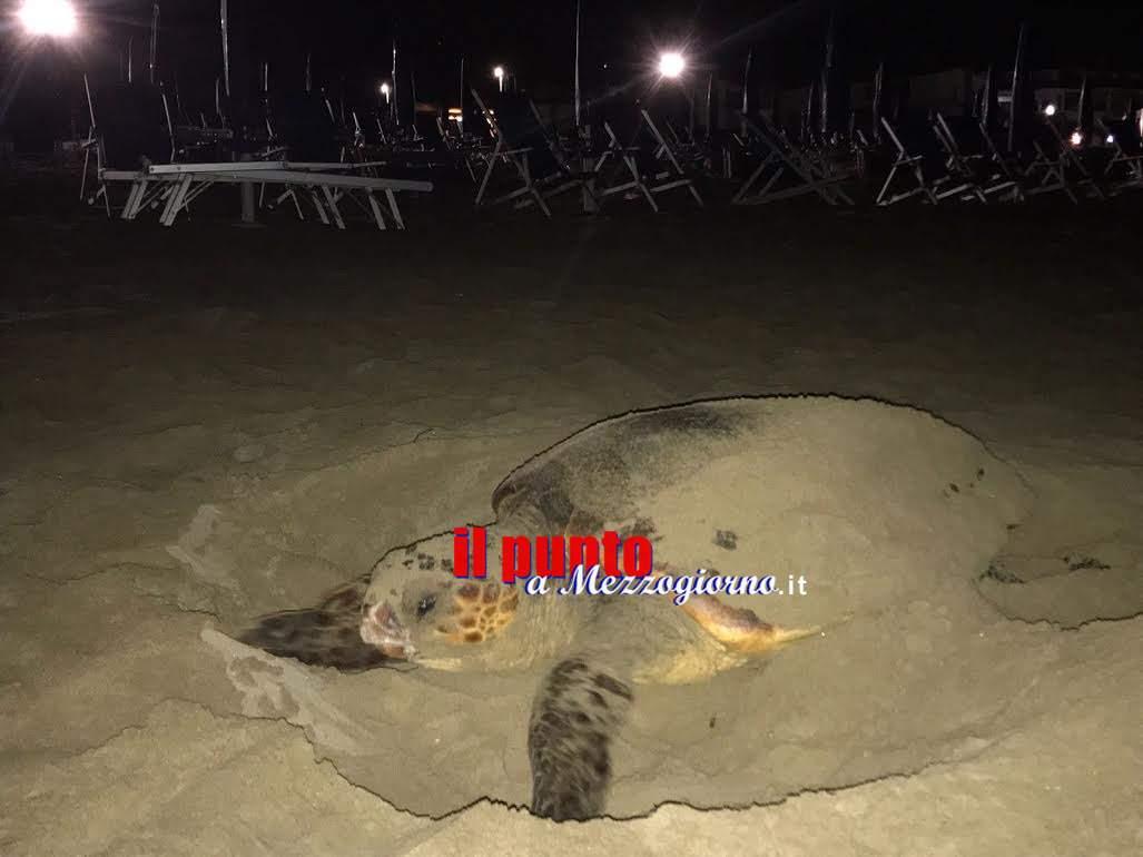 Grossa tartaruga depone uova tra gli ombrelloni ad Ardea, l'area diventa presidiata