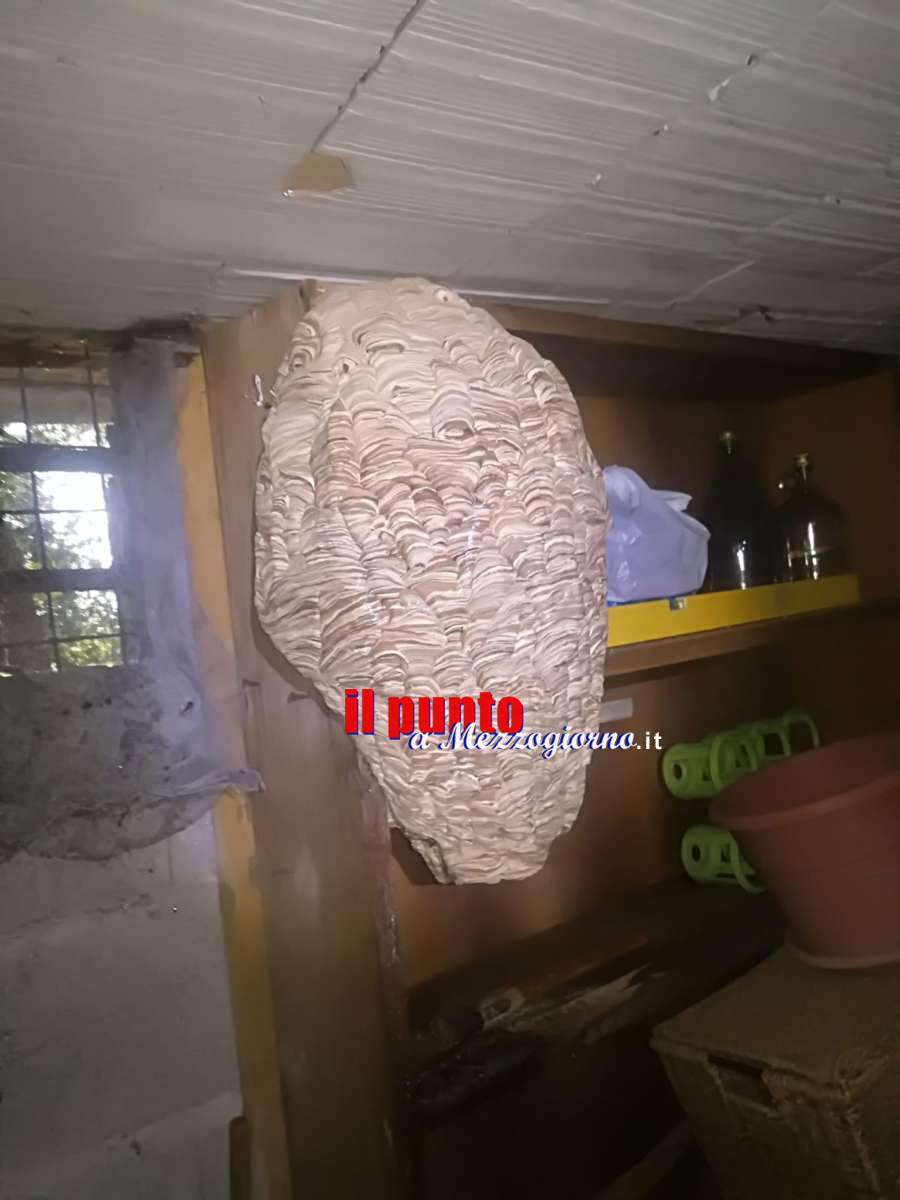 Maxi nido di calabroni in una cantina ad Aprilia, i vigili del fuoco lo rimuovono