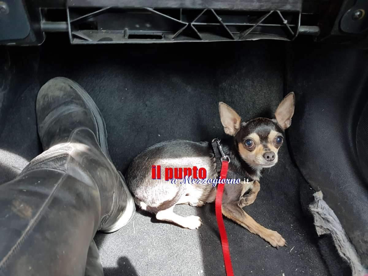 Pincher sull'A1 salvato da agenti della Stradale, il cane correva impaurito tra una corsia e l'altra
