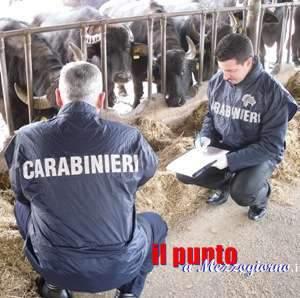Mandria di bufali da mezzo milione di euro sequestrata dal Nas a Latina