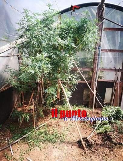 Piantagione di marijuana e armi per difenderla a Ceccano, arrestati suocero e genero a Ceccano