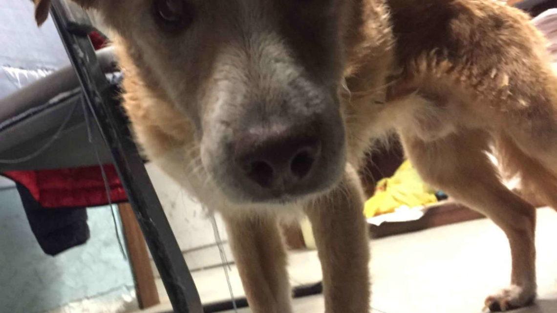 Cane cieco salvato da agenti mentre vaga nel traffico di Roma