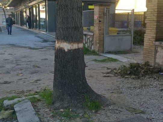 """Cassino, ora l'inciviltà arriva ad """"incidere"""" la corteccia degli alberi per farli morire"""