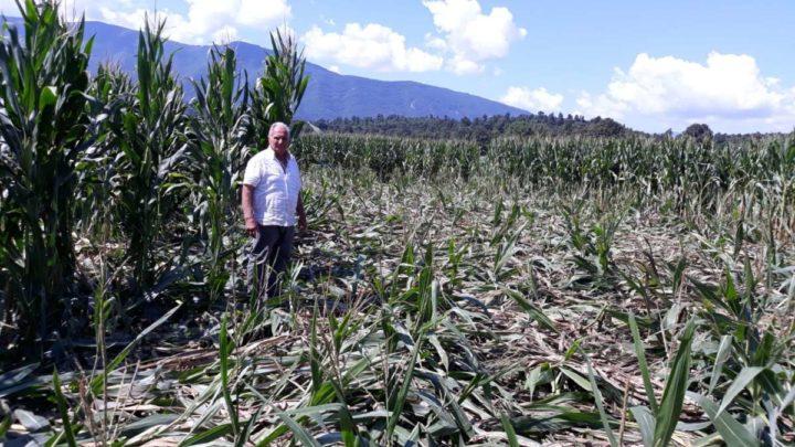 Anagni, cinghiali devastano un campo di mais. Copagri Frosinone- Latina chiede l'apertura immediata della caccia