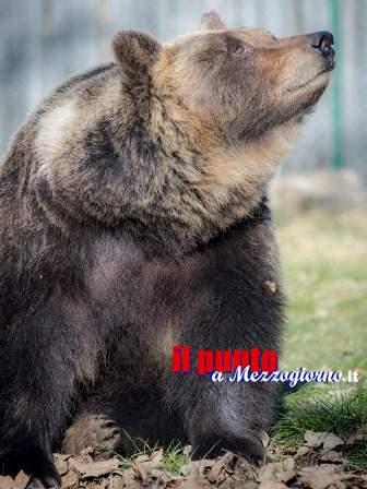 Lauretta, l'orsa del Centro Visite di Pescasseroli, è morta