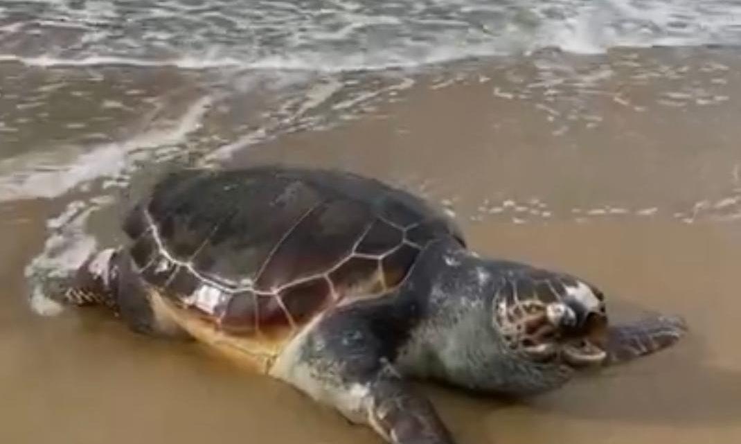 Tartaruga trovata morta in spiaggia a Sperlonga, indagini in corso