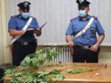 Trovato con sei piante di canapa indiana, denunciato 26enne a Pontecorvo