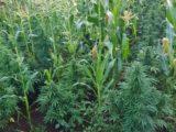520 piante di marijuana tra le pannocchie a Lanuvio, 67enne arrestato