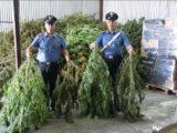 Sequestrati 250 chili di marijuana a Sessa Aurunca. Arrestate tre persone