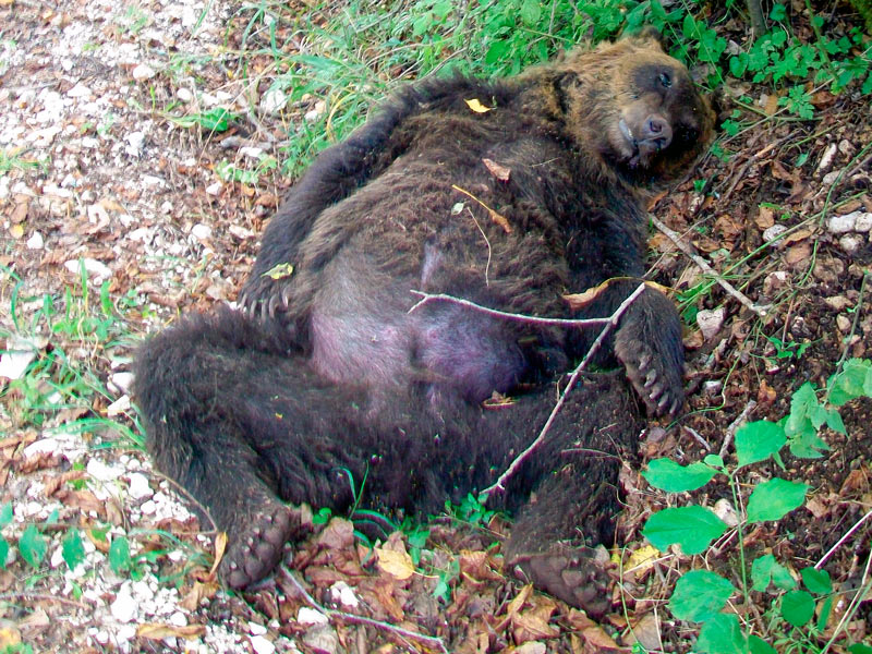 Uccise un orso marsicano a Pettorano sul Gizio, condannato