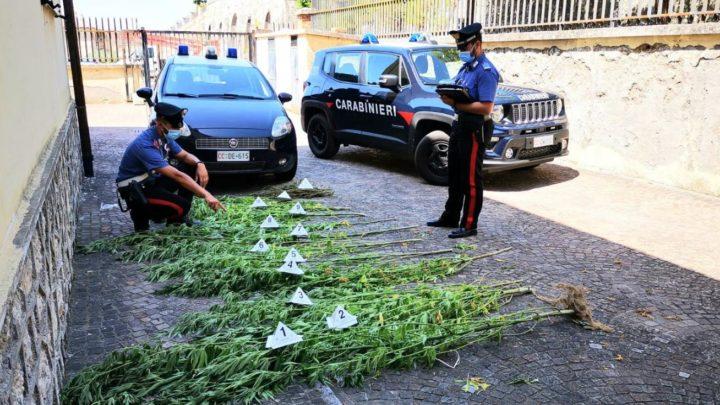 """Ladri di marijuana a Sant'Andrea, arrestati due napoletani che hanno """"mietuto"""" e rubato la droga"""