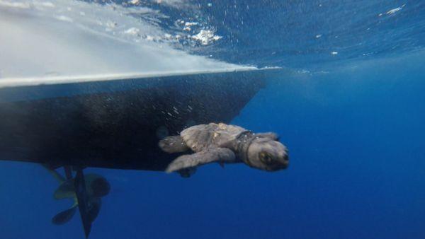 Guardia Costiera e Tartalazio liberano in mare 26 piccole tartarughe marine