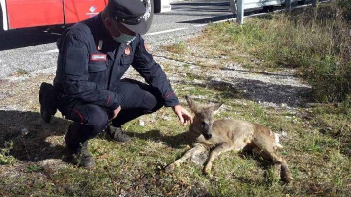 Capriolo intrappolato nella rete a San Donato Valcomino salvato e liberato dai Carabinieri Forestale